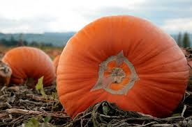 Lawrence Pumpkin Patch by Best Pumpkin Patches In Portland Oregon Axs