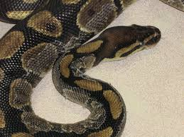 Shed Snake Skin Pictures by Diagnosing And Treating Dysecdysis Aka Retained Shed