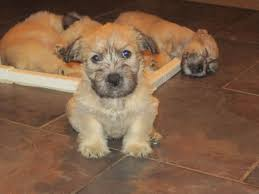 Do Wheaten Terrier Puppies Shed by Glen Of Imaal Terrier Puppies Rescue Pictures Information