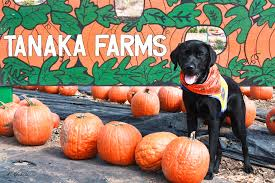 Pumpkin Gave Dog Diarrhea by Bowen U0027s Dog Blog Life And Adventures Of An Assistance Puppy In