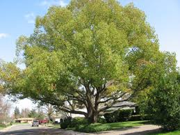 Best Trees For Backyard - Large And Beautiful Photos. Photo To ... Garden Design With Backyard Landscaping Trees Backyard Fruit Trees In New Orleans Summer Green Thumb Images With Pnic Park Area Woods Table Stock Photo 32 Brilliant Tree Ideas Landscaping Waterfall Pond Stock Photo For The Ipirations Shejunks Backyards Terrific 31 Good Evergreen Splendid Grass Scenic Touch Forest Monochrome Sumrtime Decorating Bird Bath Fountain And Lattice Large And Beautiful Photos To Select Best For