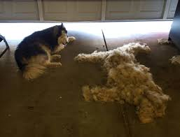 Do Samoyed Huskies Shed by Can I Snuggle With You Aww