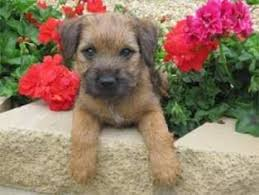Border Terrier Non Shedding by Border Terrier Breed Information And Pictures On Puppyfinder Com