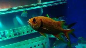 grand aquarium de malo myripristis murdjan forsskål 1775 holocentridae poisson