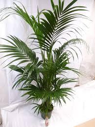 kentia palme pflegeleicht