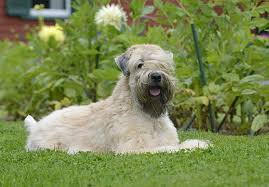 Do Wheaten Terrier Dogs Shed by Soft Coated Wheaten Terrier Puppies For Sale Akc Puppyfinder