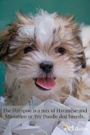Non Shed Dog Breeds Hypoallergenic by Havapoo Havanese Dog Breeds And Poodle