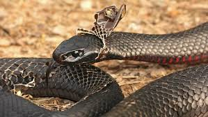 Shed Snake Skin Pictures by Steemit Lesson 101 Be A Snake U2014 Steemit