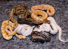 Ball Python Shedding Eating by 73 Best Ball Pythons Images On Pinterest Beautiful Snakes