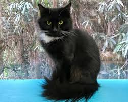 haired cats adoptable cats in your local shelter l adopt a pet l aspca