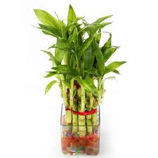 planting bamboo in a pot lucky bamboo plant in glass pot buy bamboo and other plants