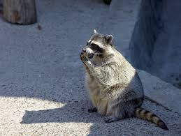 The 5 Best Raccoon Baits + Reviews & Ratings! (Dec, 2017) Time To Start Culling Torontos Nasty Raccoons Hepburn Toronto Star Raccoon Removal Indianapolis Backyard Raccoons Youtube How To Get Rid Of In Your Bathroom Wall Mirrors Cooldesign A Getting Keep Away From Garden Out Yard The Survive And Thrive 65 Animal Statues Decor Wild And Domestic Identify Of In The 11 Strategies For Doityourself Pest Control Family Hdyman