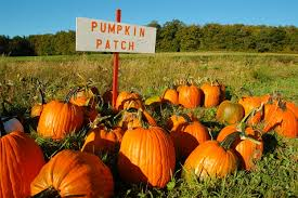 Tims Pumpkin Patch by Seattle U0027s Best Pumpkin Patches