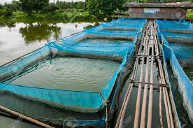 Nile Tilapia Fish Farms With Blue Net And Bamboo Pathway