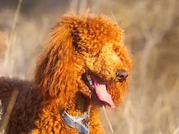 List Of Non Hypoallergenic Dogs by Hypoallergenic Dog Breeds Best Hypoallergenic Dog List