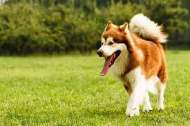 Sheltie Shedding In Clumps by The 10 Dog Breeds That Shed The Most U2013 Iheartdogs Com
