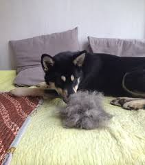 Large Dogs That Dont Shed Fur by How To Groom A Shedding Jindo Dog A Guide For Double Coated Dogs
