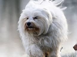 Non Shedding Large Dogs by Low Shedding Dog Breeds Low Shedding Dog List