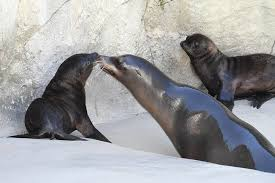 Brookfield Zoo Halloween Activities by 2 Sea Lion Pups Make Debut At Brookfield Zoo Wgn Tv