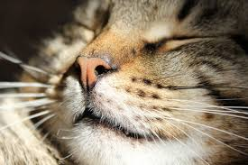 cat runny nose does watery eye discharge signal a respiratory infection catster