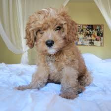 Do Cavapoos Shed A Lot by Waffle The Cavapoo Lil Nuggets Pinterest Cavapoo Animal And Dog