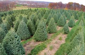 Christmas Tree Types The Often Becomes Center Point Of Holiday Celebrations Check Out Our Guide To Choosing Best Type