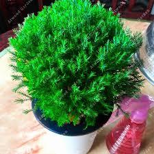 Christmas Tree Eyelash Viper Elegant A GBPzlking Cedar Seeds Seed Cedrus Bonsai Diy Home