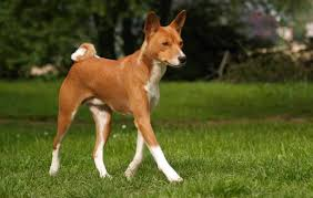 Basenji Shedding Puppy Coat by Basenji Dog Breed Information And Images K9 Research Lab