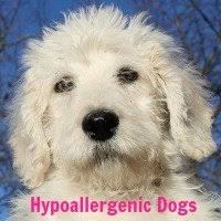 Cute Non Hypoallergenic Dogs by Hypoallergenic Dogs Who Are They