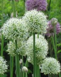 mount everest allium bulbs for sale