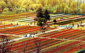 chenab industries kashmir cik tulip bulbs sale in india