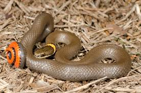 Texas Archives - What Snake Is That Backyard Snakes Effective Wildlife Solutions Snakes And Beyond 65 Best Know Them Images On Pinterest Georgia Of Louisiana Department Fisheries Southern Hognose Snake Florida Texas Archives What Is That 46 The States Slithery Species Nolacom Scarlet Kingsnake Cottonmouth Eastern Living Alongside Idenfication Challenge The Garden Or Garter My Species List New Engdatlantic