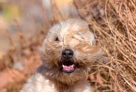 100 do irish wheaten terriers shed border terrier breed