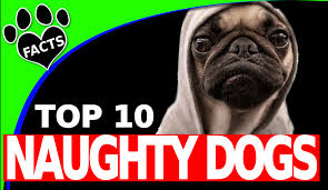 Non Shedding Small Dog Breeds List by Top 10 Naughtiest Dog Breeds U2013 Animal Facts