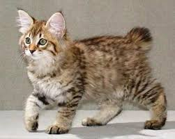 bobtail cat 5 facts about american bobtail cats you to bobtail cat