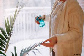 foto auf lager nahaufnahme der frau hände gießen wasser aus sprinkler auf grüne hause pflanze große zimmerpflanze howea palme in mehrfamilienhaus
