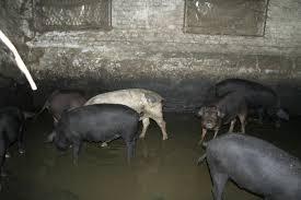 AFC - Pig Farm