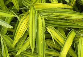 pleioblastus viridistriatus auricoma ou bambou nain panaché jaune