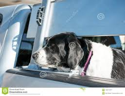 Large Dog Seen In The Back Of A Truck, Waiting For Its Owner. Stock ... Best Dog Crate For Pickup Truck Beds Soft Plastic Alinum Bearded Dogs Food Truck Is Now Sling Gourmet Dogs At A Brewery Dog 2 Album On Imgur And Richmond Sand Gravel Landscaping Large Seen In The Back Of A Waiting Its Owner Stock Bernese Mountain Puppies In Doggies Swiss Takes Semi On Joyride Crashes Into Tree And Parked Car Treat East Greenbush Albany Ny Mugzys Barkery Cowgirl Driving Old Stocksy United Pbs 4 Axle Delivery Muscat Arizona Patrol Volunteer Saves Tied To Heading 3 Trailer