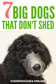 Best Dog Breeds That Dont Shed by 7 Big Dogs That Don U0027t Shed
