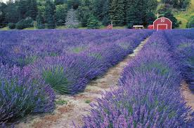 Good Plants For Bathrooms Nz by Lavender Blue New Zealand Geographic