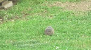 Groundhog In Backyard - YouTube More 25 Marauder Groundhogs And Predator Action Airguns Guns Best Baby Groundhog Ideas On Pinterest What Is A Its Like To Plant Backyard Vineyard Wine Enthusiast Magazine Groundhog Day Walks The Backyard Youtube April 2013 Christfaithpower Mdwildlife Ungardened Moments A Wombat In Our Search Results The Smell Of Molten Projects How Do You Keep Groundhogs Out Of Garden Home Outdoor Decoration Tree River June Glassblowerinfo Animals Holland Bucks County Theyre Back Wildlife Removal Joplin Neosho Carthage Mo
