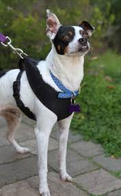 Rat Terrier Excessive Shedding by Afrp Dogs Available For Adoption
