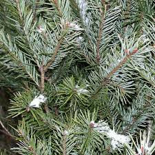 Type Of Christmas Trees by Types Of Trees Galehouse Tree Farm