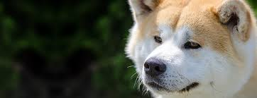 Do Akitas Shed Bad by Your Dog Breed Akita