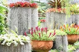 1lb live spanische moos tillandsia usneoides bio hängende luft pflanze für orchidee hochzeit dekoration geburtstag