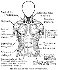 Anatomy Coloring Pages Muscles 18 Major Page
