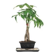 Christmas Tree Sapling Care by Trees Trees U0026 Bushes The Home Depot