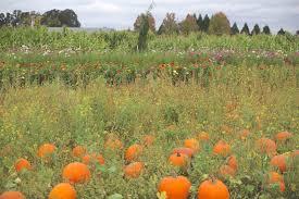 Sauvies Island Pumpkin Patch Corn Maze by Annual Pumpkin Patch Trip Belletriste