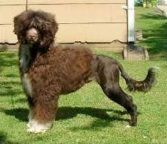 Portuguese Water Dog Non Shedding by Portuguese Water Dogs Critterology Com